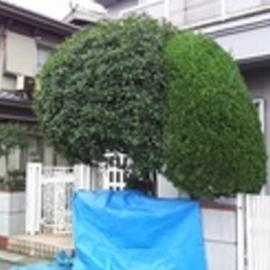 庭木の枝切り・剪定 作業中