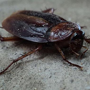 | ゴキブリ駆除作業 ゴキブリ1