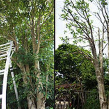 刈込作業前後の木