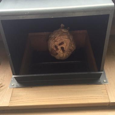 アシナガバチの巣の駆除