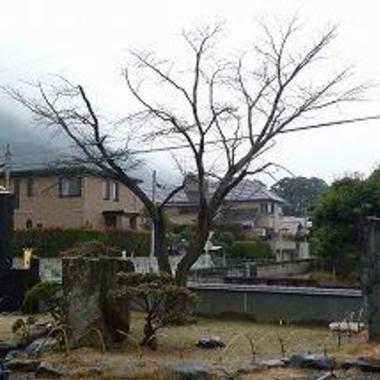 桜の木の樹勢回復作業 完了