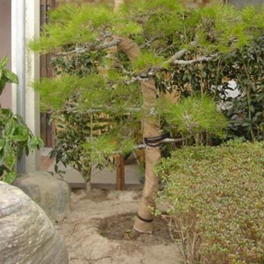 松の植え込み作業 完了 アップ画像