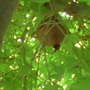 スズメバチ駆除前 植木
