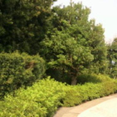 庭木の刈り込み後1